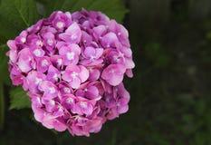 den härliga pinken för vanlig hortensia för hortensia för blomningkortbegreppet tackar dig Royaltyfri Bild