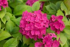 den härliga pinken för vanlig hortensia för hortensia för blomningkortbegreppet tackar dig Royaltyfria Foton