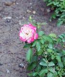den härliga pinken steg Royaltyfri Foto