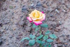 den härliga pinken steg Royaltyfria Bilder