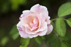 Den härliga pinken steg i en trädgård Royaltyfria Bilder