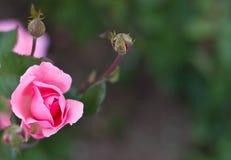 Den härliga pinken steg i en trädgård Royaltyfri Foto
