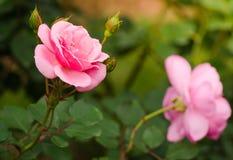 Den härliga pinken steg i en trädgård Arkivbild