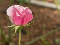 Den härliga pinken steg i en trädgård Fotografering för Bildbyråer
