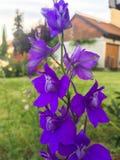 Den härliga purpurfärgade blåklockan blommar i sommar arkivbild
