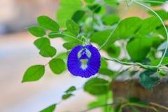 Den härliga purpurfärgade blomman, stänger sig upp fjärilen Pea Flower på träd arkivfoton