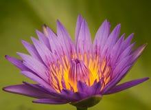 Den härliga purpurfärgade lotusblommablomman royaltyfria foton