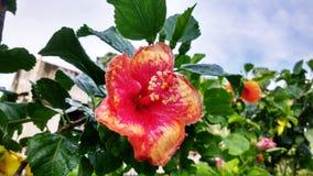 Den härliga röd-guling hibiskusblomman efter dusch royaltyfri foto