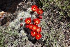 Den härliga röda kaktuns blommar i blom arkivbild