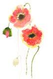 Den härliga röda vallmo blommar på vit Arkivfoto