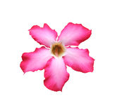 Den härliga rosa adeniumöknen steg Royaltyfria Bilder