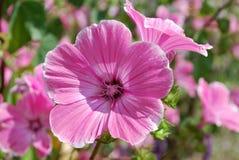 Den härliga rosa färgen blommar lavateraen Royaltyfria Bilder