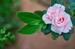 Den härliga rosa färgen blommar ny vårmorgon på naturen på mjuk bakgrund Fjädra mallen, den eleganta fantastiska bilden, utrymme  Fotografering för Bildbyråer