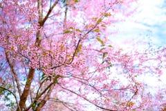 Den härliga rosa färgen blommar på Thailand Arkivfoto