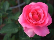 Den härliga rosa färgrosen i trädgården fotografering för bildbyråer
