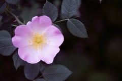 Den härliga rosa hunden för den Rosa caninablomman steg i trädgård Royaltyfri Bild