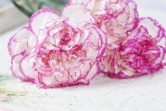 Den härliga rosa nejlikan blommar på en vit träbakgrund Arkivfoton