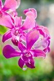 Den härliga rosa orkidéblomman Arkivbild