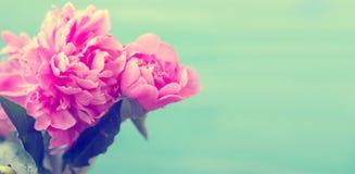 Den härliga rosa pionen blommar mot blå bakgrund; vår/flo arkivbilder