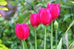 Den härliga rosa tulpan Rosa tulpan i trädgården Royaltyfri Bild
