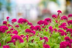 Den härliga rosa tuppkammen blommar i garden arkivbilder