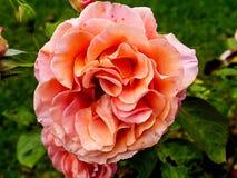 Den härliga rosen ljusnar upp en trädgård i nordliga England royaltyfri bild