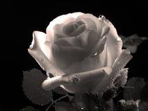 Den härliga rosen, svartvitt foto arkivbilder