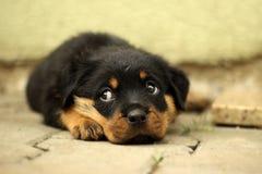 Den härliga Rottweiler valpen, åldras sex veckor Arkivfoton