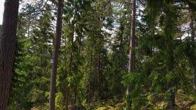Den härliga sikten av det steniga naturlandskapet i hög gräsplan för skog sörjer träd på bakgrund för blå himmel arkivfilmer