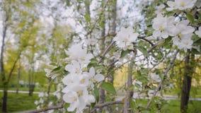 Den härliga snövita filialen av ett blomma Apple träd i staden parkerar Närbild av blommorna av trädet stock video