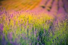 Den härliga sommarängen blommar, det färgrika lavendellandskapet arkivbild