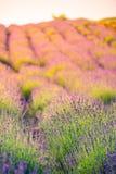 Den härliga sommarängen blommar, det färgrika lavendellandskapet royaltyfri fotografi