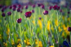 Den härliga sommarvårtulpan blommar för naturbakgrund Lugna naturligt landskap och solljus och den avslappnande tulpan blommar arkivbilder