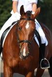 Den härliga sporthästståenden under dressage testar Royaltyfri Foto