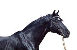 den härliga svarta hästen isolerade ståenden Royaltyfria Bilder