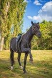 Den härliga svarta hästen står på dess bakre ben i natur arkivfoton