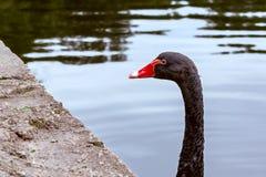 Den härliga svarta svanen simmar i ett damm i en stad parkerar royaltyfri fotografi