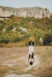 Den härliga svartvita hunden border collie att bli på baksida tafsar i fält I bakgrundsbergen Utrymme för text arkivbilder