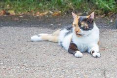 Den härliga tricolored katten sitter på vägbackstegstangenten royaltyfria foton