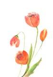 Den härliga tulpan blommar på vit, vattenfärgmålning Arkivfoto