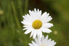 Den härliga tusenskönan blommar i ett fält Fotografering för Bildbyråer