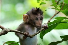 Den härliga unika ståenden av behandla som ett barn apan på apaskogen i Bali Indonesien, nätt löst djur