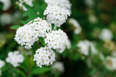 Den härliga våren blommar i vit Royaltyfri Bild