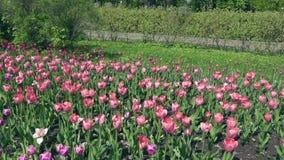 Den härliga våren parkerar dolt vid röda tulpan för nya blommor lager videofilmer