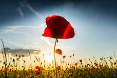 Den härliga vallmo blommar på härlig himmelbakgrund Royaltyfri Foto