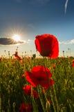 Den härliga vallmo blommar på härlig himmelbakgrund Fotografering för Bildbyråer