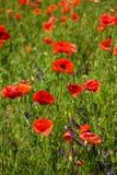 Den härliga vallmonaturen blommar det gröna fältet royaltyfri foto