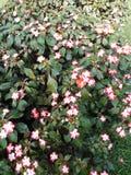Den härliga vintergrönan blommar i vitt och rött fotografering för bildbyråer