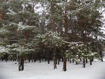Den härliga vintern landscape Abstrakt pinjeskogbakgrund Arkivbild