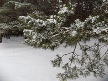 Den härliga vintern landscape Abstrakt pinjeskogbakgrund Royaltyfri Fotografi